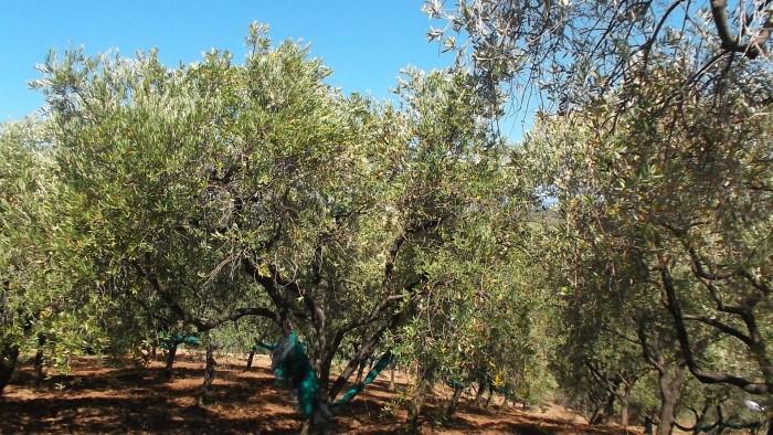 Azienda Agricola Ermma Alberi di olivo