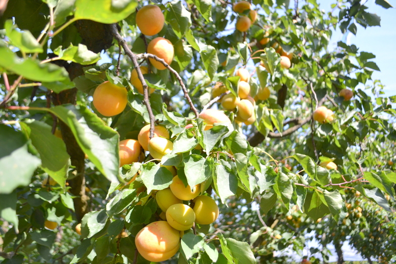 Presidio Slow Food delle Albicocche Vesuviane
