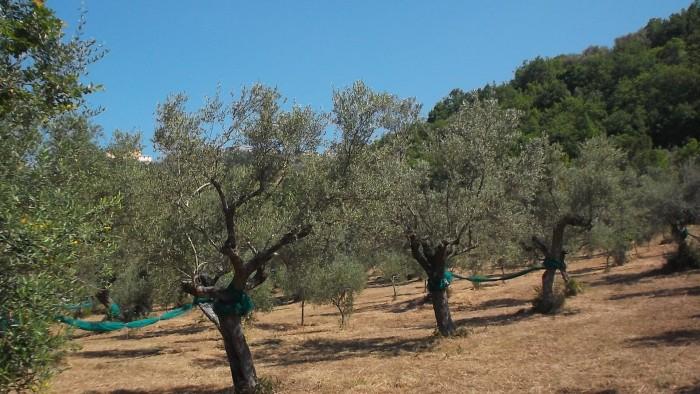 Azienda Agricola San Teodoro Alberi di olivo