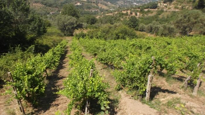 Azienda Agricola San Teodoro Vigneto
