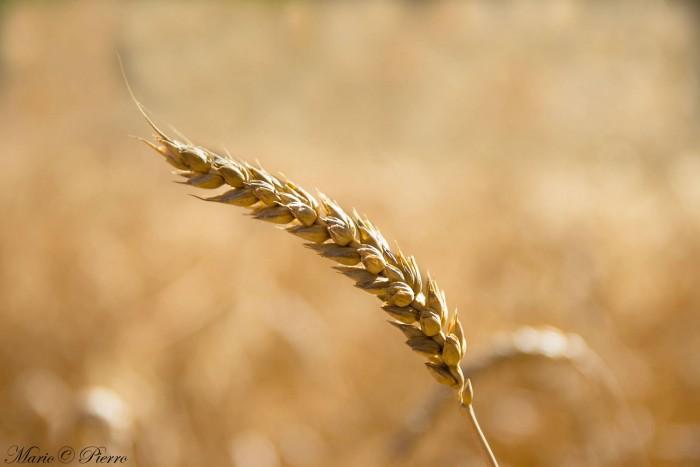 Campo di grano, varieta' abbondanza