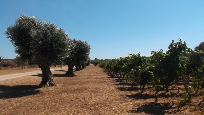 Cantina Coppola Vigna ed alberi di olivo
