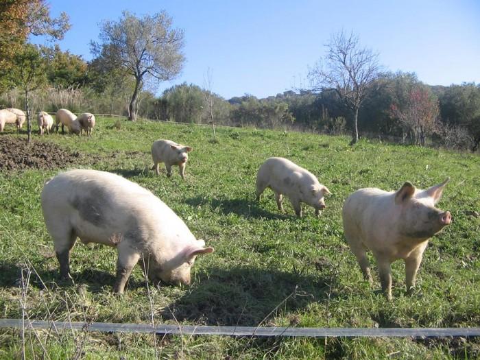 Fattoria Biococo' maiale all aperto