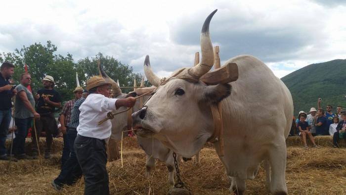 Palio del grano, Nell'aia, fatta con acqua, escrementi di vacca e paglia, i buoi s'apprestano alla cernita del grano