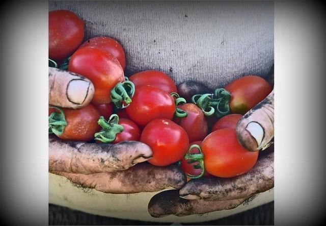 TerraViva Le mani sporche di terra e ricche di pomodoro