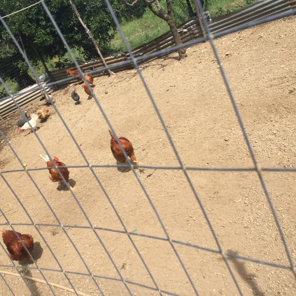 Azienda Dama, il pollaio