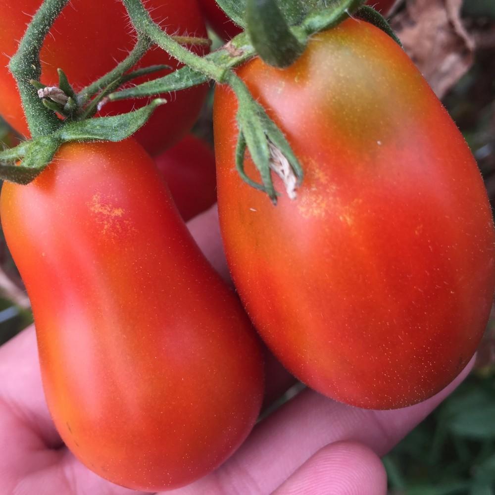 Dama Castellammare, i pomodori