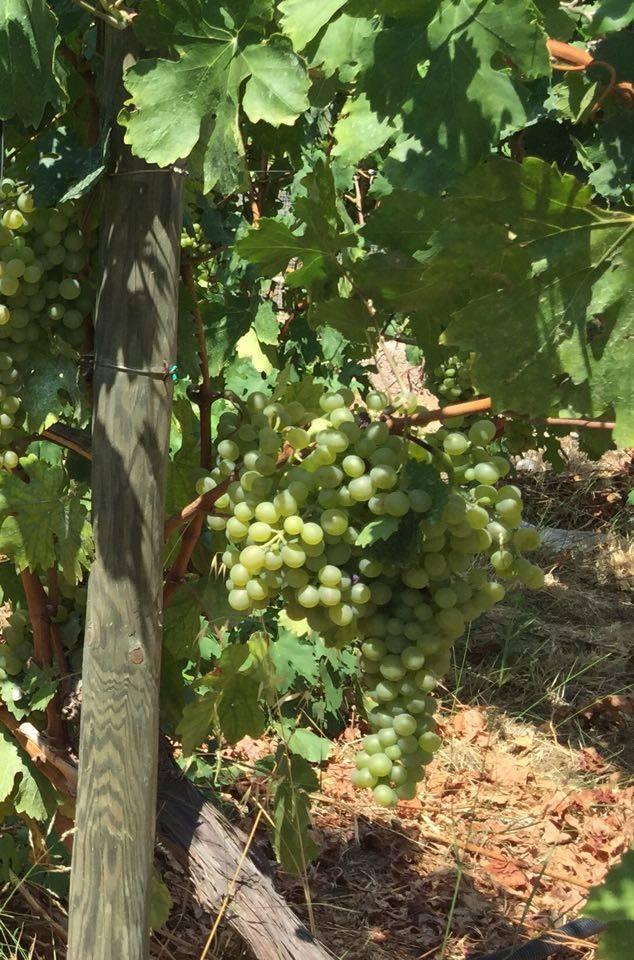 Pedrani, l'uva moscato