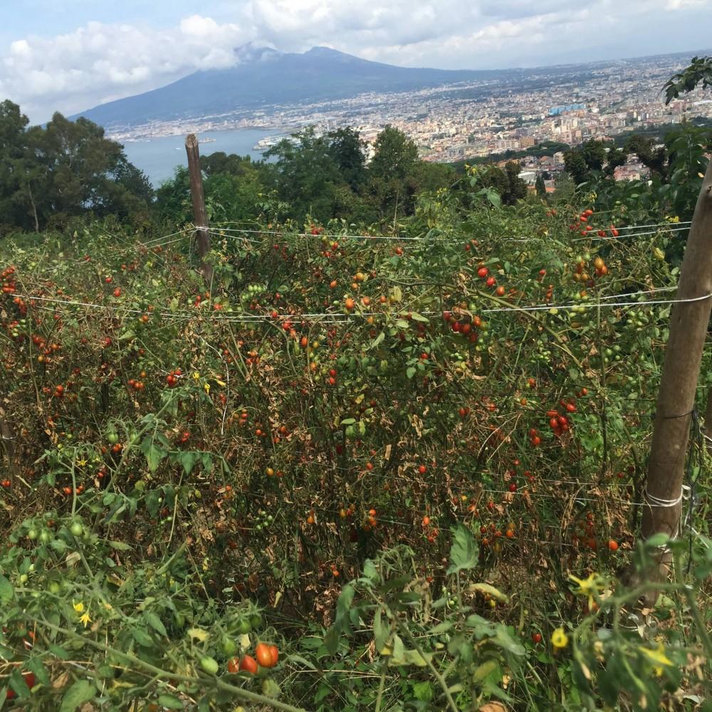 Pomodori Dama, i filari sul Vesuvio