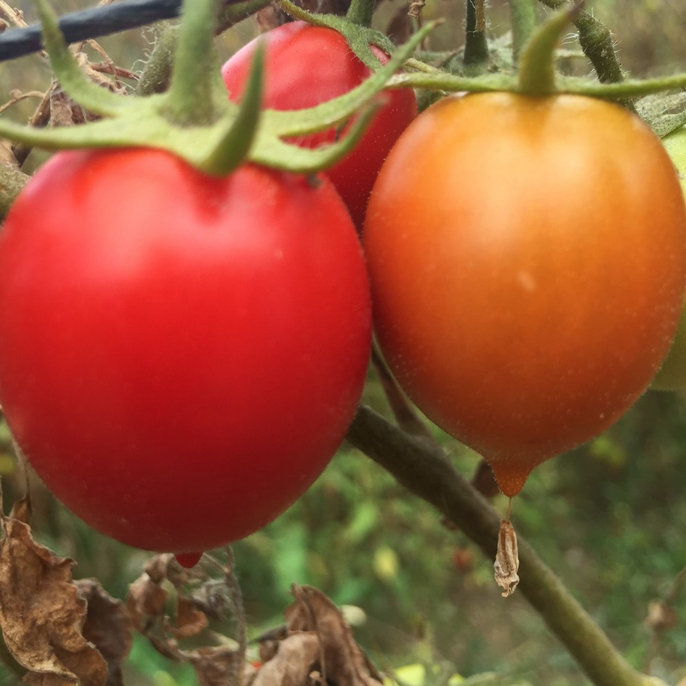 Pomodori Dama, il pendolino