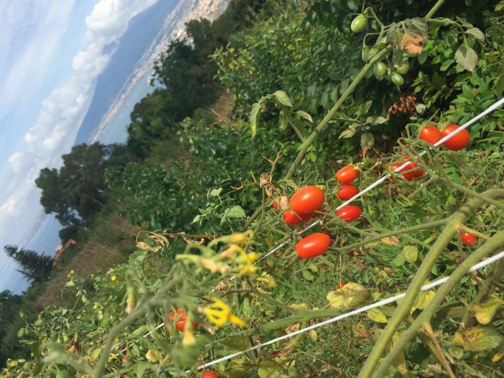 Pomodori Dama, zoom sui filari
