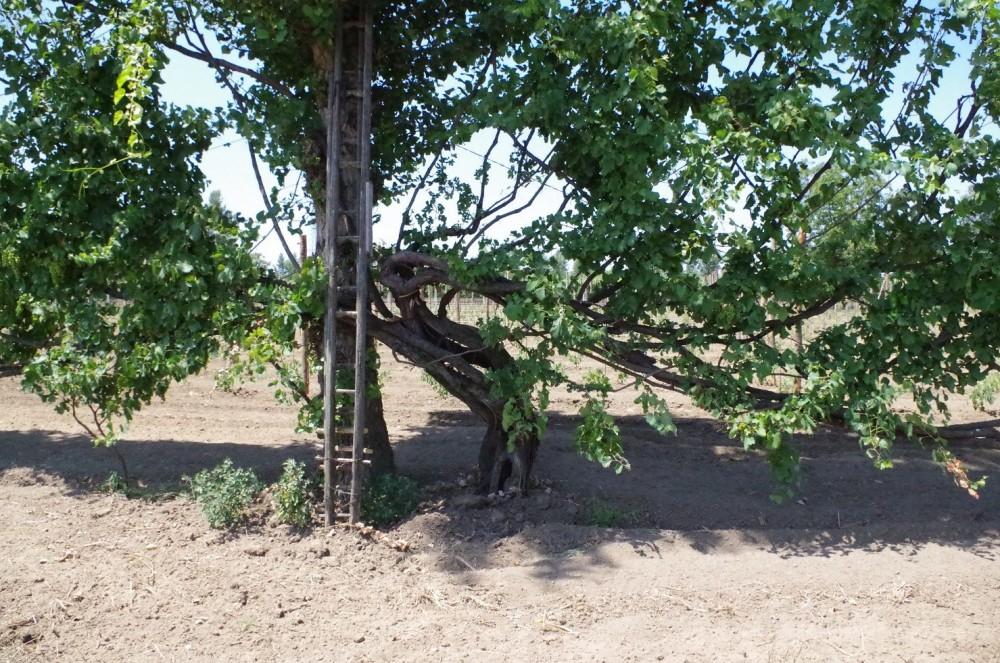 Tenuta Fontana,vecchia pianta di asprinio