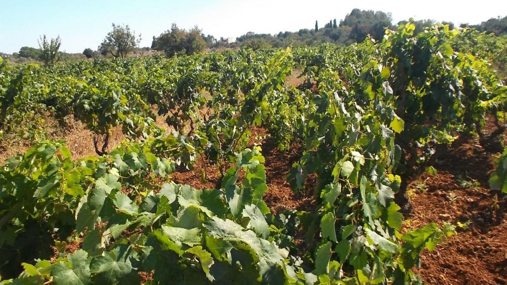 Le vigne dell'Azienda Calò di Tuglie