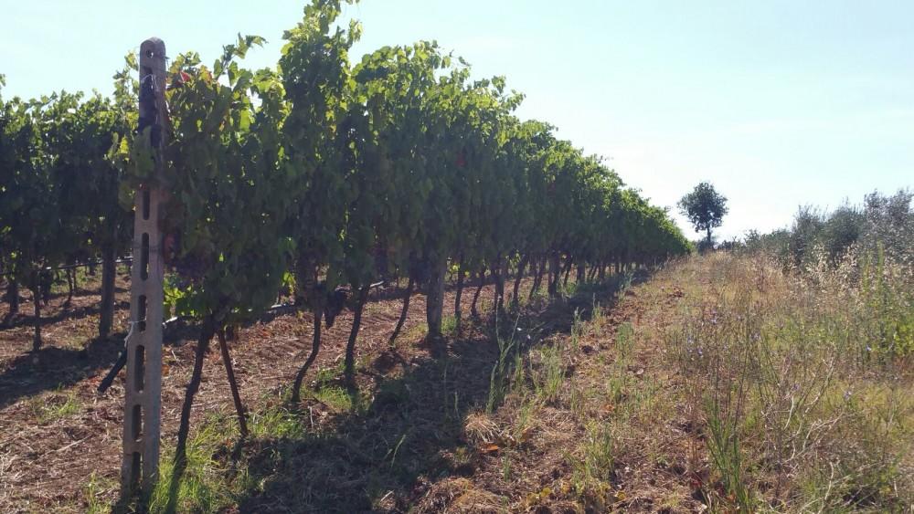 casa di Baal, le vigne