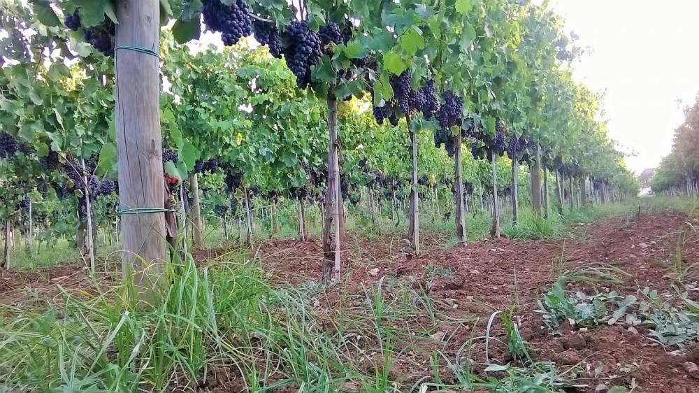 Casula Vinaria Filari di aglianico