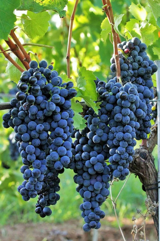 Casula Vinaria Grappoli di aglianico