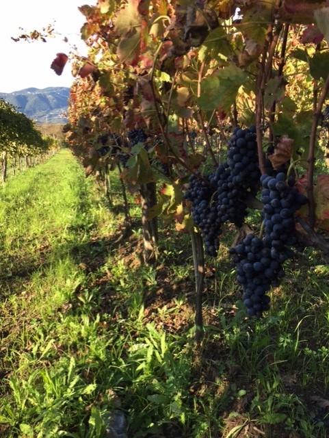 Nolure', uva aglianico