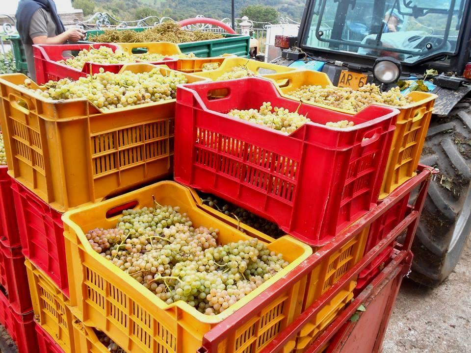 Rocca del Principe, uva fiano vendemmia 2016