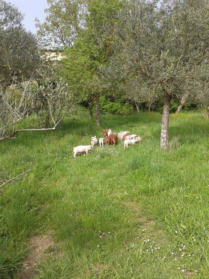 Azienda Biancaniello, maiali al pascolo