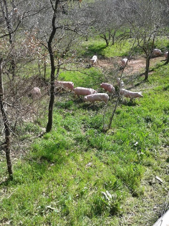 Azienda Biancaniello, maiali all'aperto