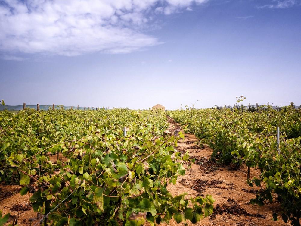 Barraco, vigne