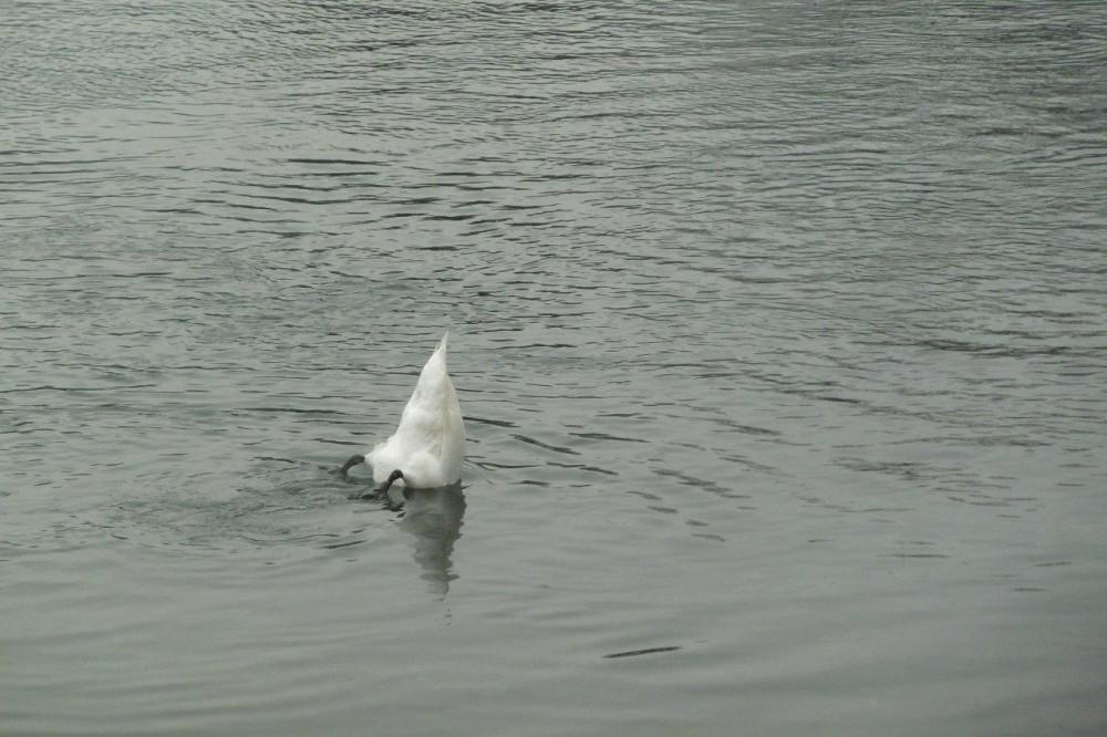 Marascia, il cigno a pesca
