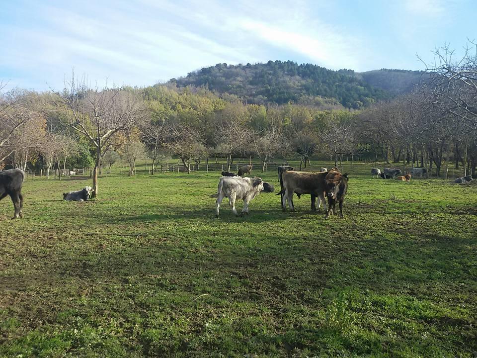 Le Carni Irpine, vacche al pascolo