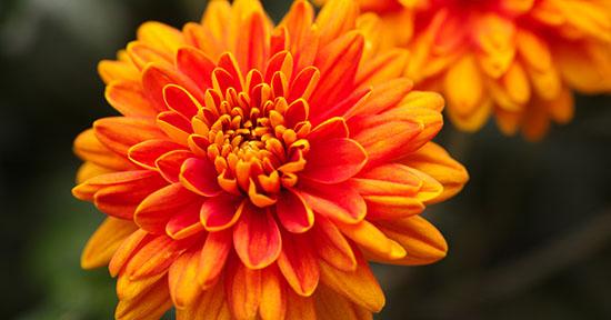 Crisantemo arancione