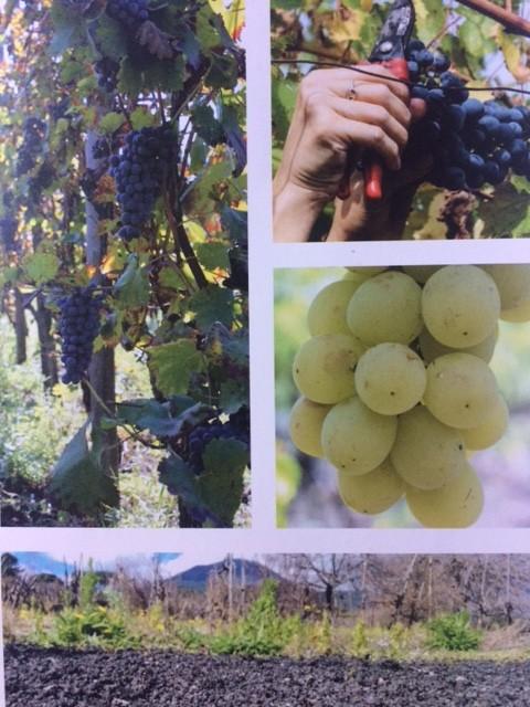 Le uve coltivate sono quelle autoctone del Vesuvio