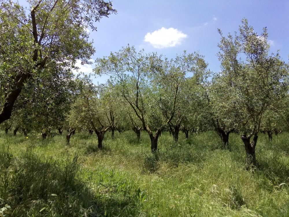 Azienda Maria Manuela Russo - Alberi di olivo