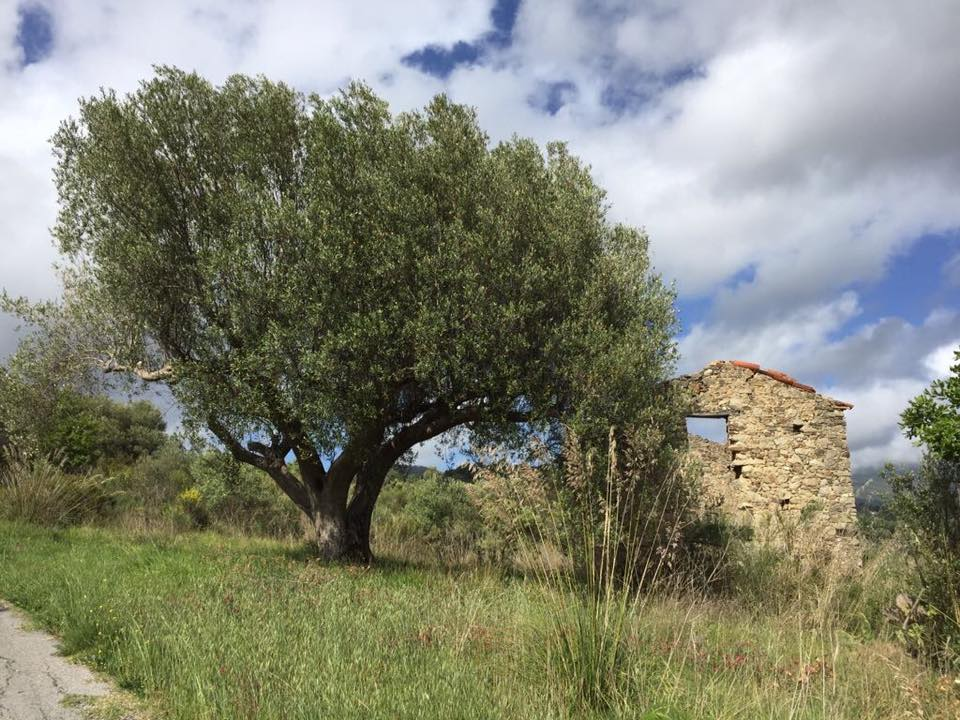 Don Titino, olivo con rudere del 500