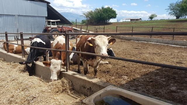 Fattoria Colle San Nicola -mucche
