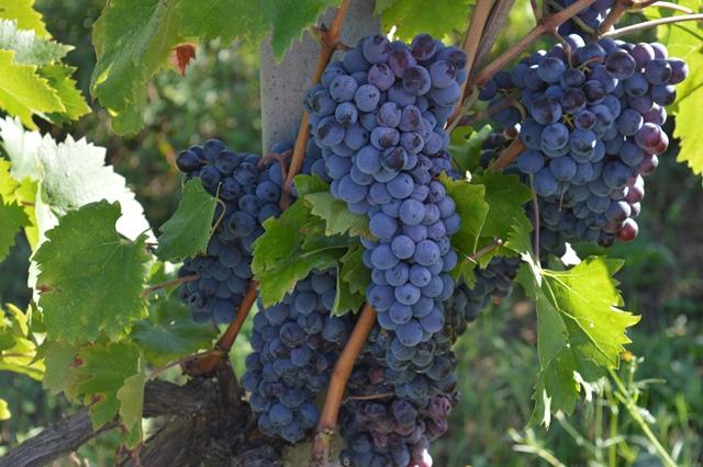 Villa Simone - Uva rossa
