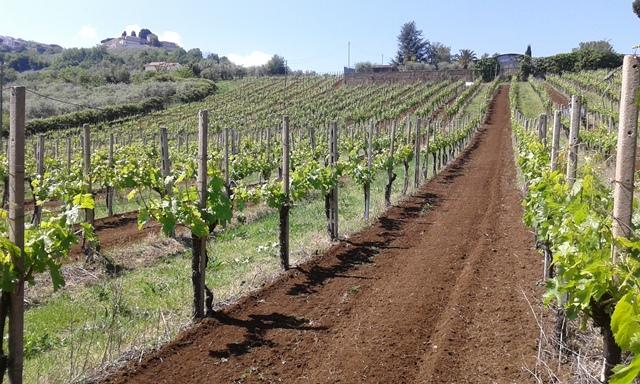 Villa Simone, vigne