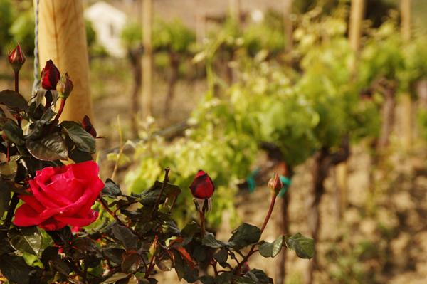 Azienda agricola Roberto Ceraudo, i roseti
