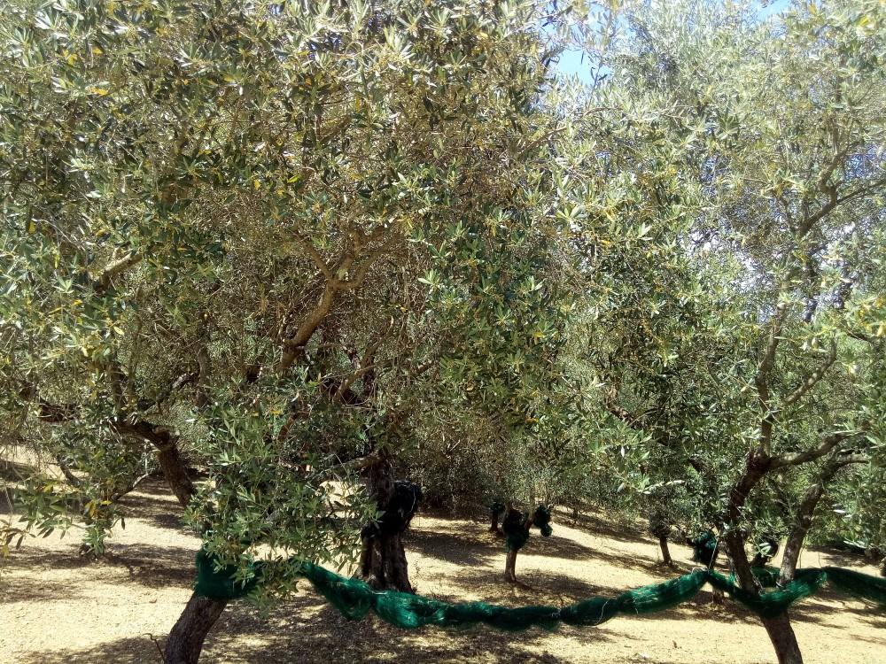 Il Vecchio Frantoio Alberi di olivo