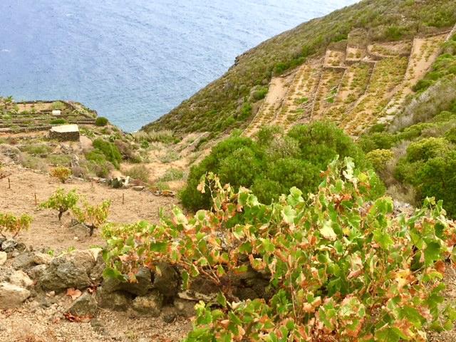 Alberelli di zibibbo piantati su terrazzamenti
