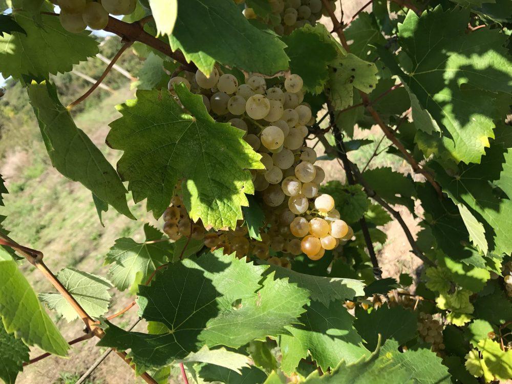 La Falanghina della Legalita' - Lacandona, uva