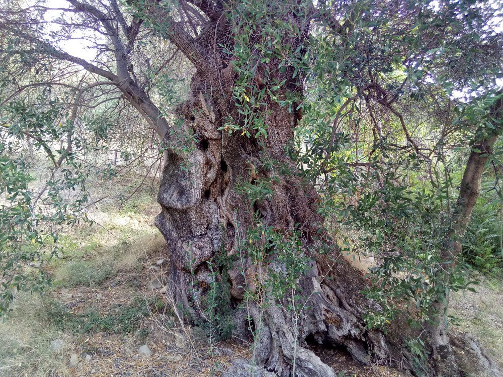 Albero di ulivo ultramillenario di Pisciotta