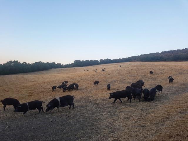 Azienda agricola biologica Agrimar, suino nero