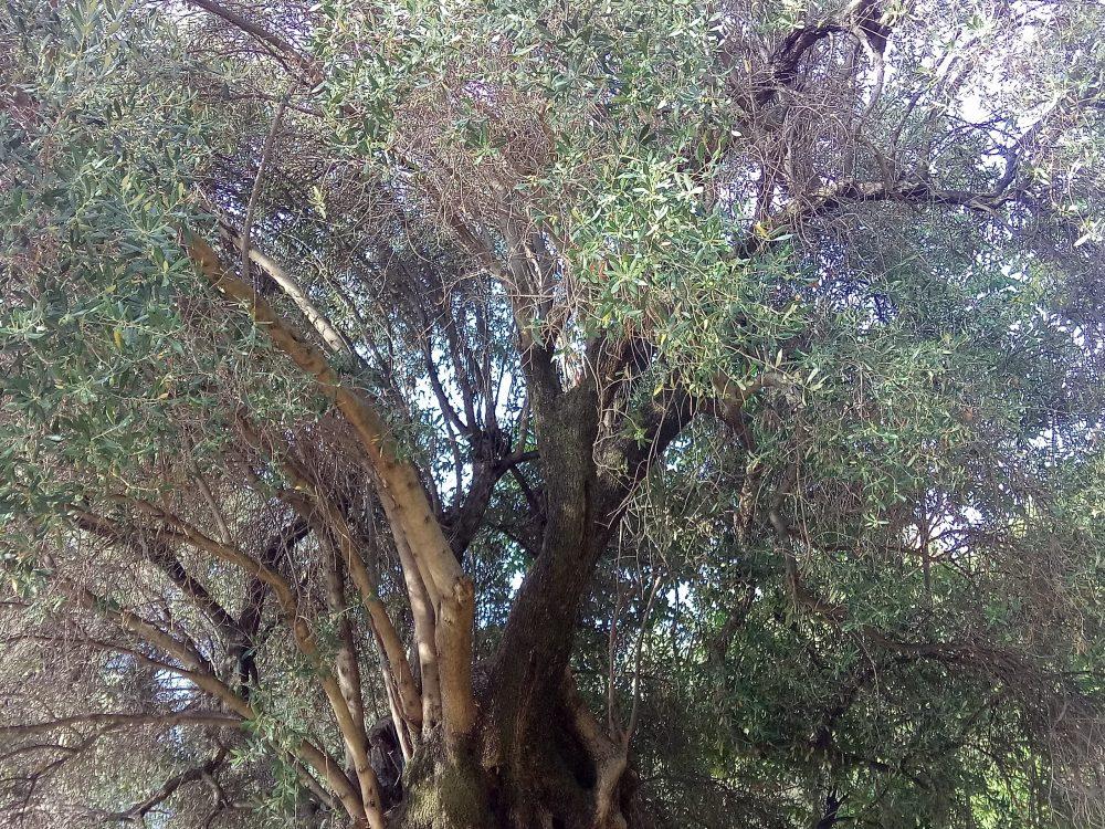 Chioma dell'albero di ulivo di Pisciotta