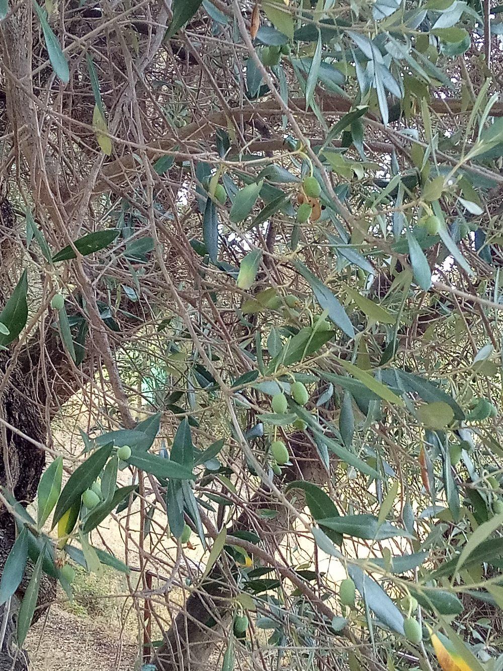 Drupe dell'albero di Ulivo di Pisciotta