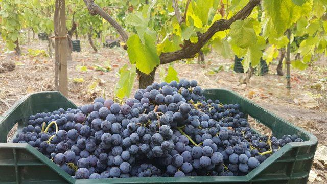 Iniziato il taglio delle uve sul Vesuvio