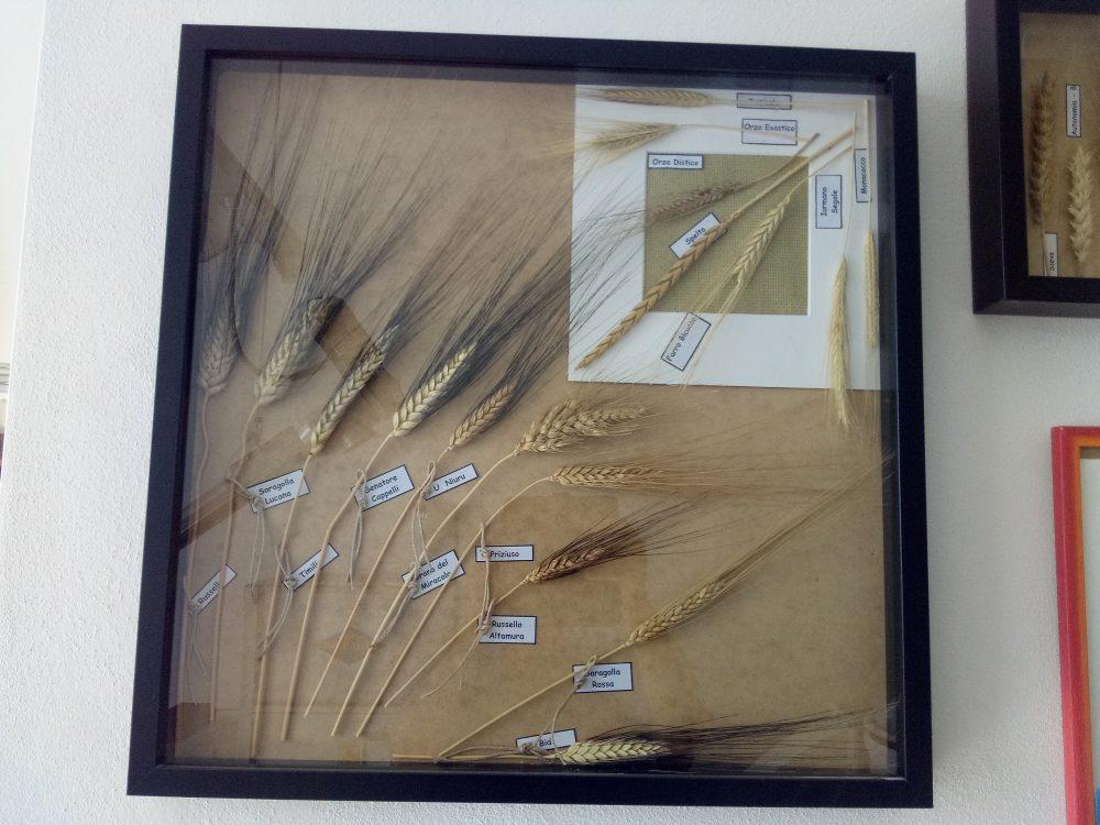 Mulino a Pietra Mostra di grani antichi
