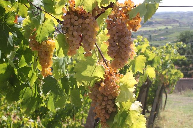 Societa' agricola Gabriele Magno - le uve