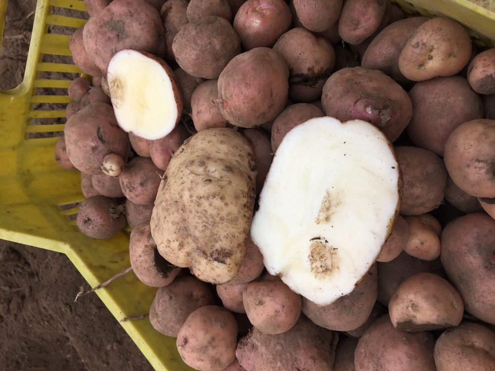 Taburno experience - Le patate
