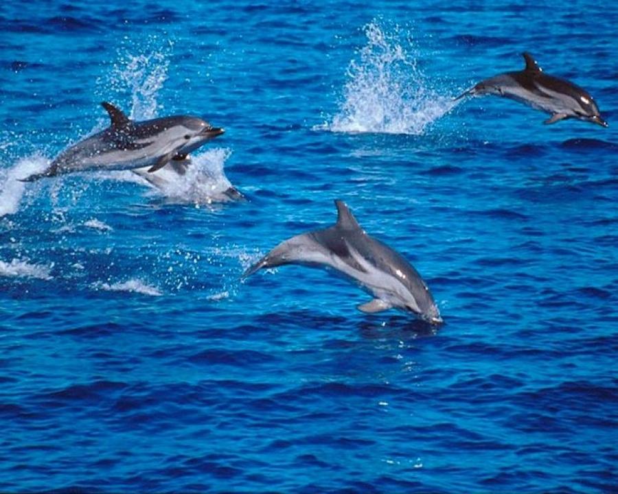 Delfini al largo delle Cinque Terre