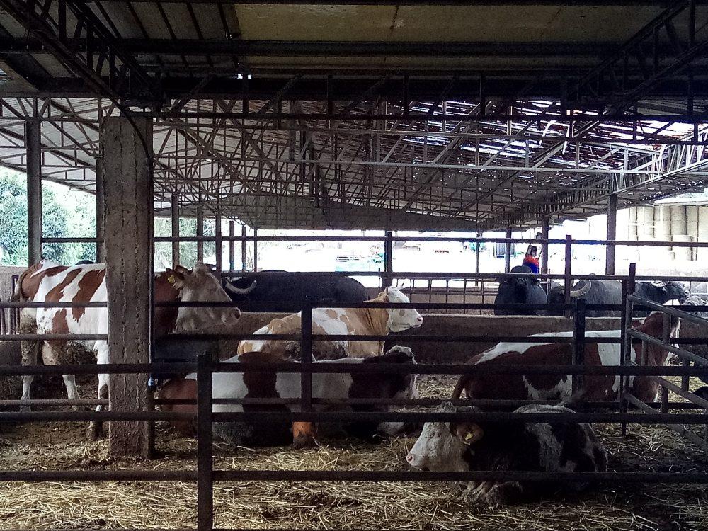 La Tenuta Bianca, Mucche