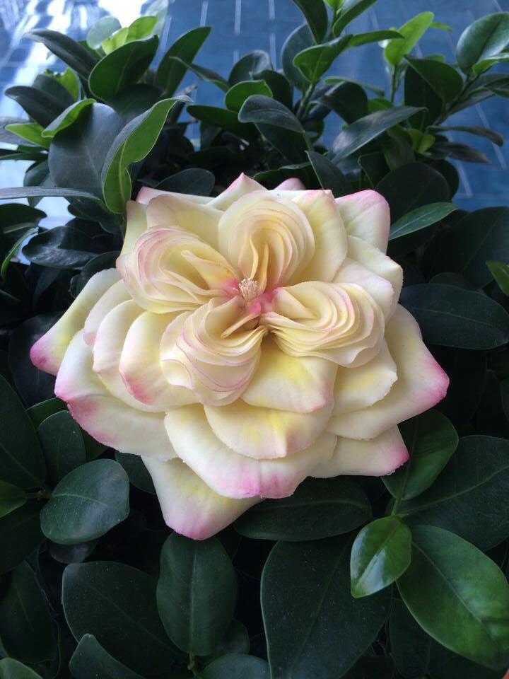 Pasticceria Nobile - fiore di zucchero