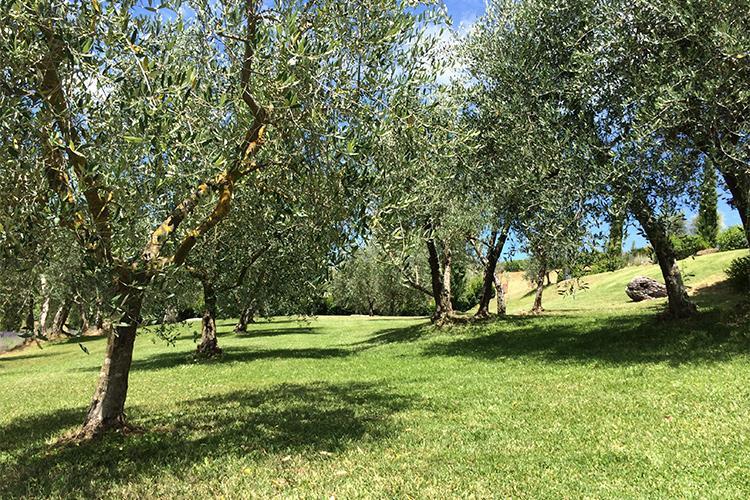 Dievole, oliveti